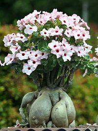 A rosa-do-deserto é uma planta herbácea, suculenta, de aspecto escultural e floração exuberante. Seu caule é engrossado na base, uma adaptação para guardar água e nutrientes em locais ári...