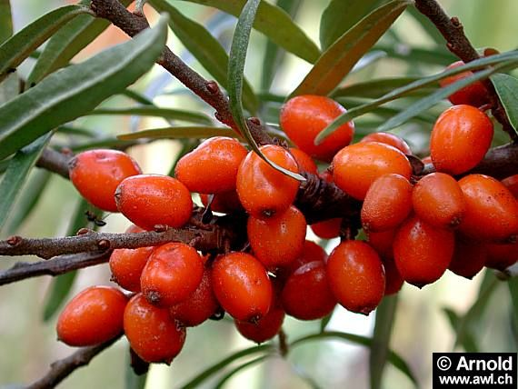 Obtinut prin presarea fructelor si semintelor de catina, arbust raspandit si in tara noastra, pe numele latin Hippophae rhamnoides, uleiul de catina este unul din cele mai apreciate uleiuri vegetale, atat pentru calitatile sale nutritive, cat si pentru cele terapeutice. Fructele de catina sunt considerate adevarate polivitamine, efectele lor benefice fiind cunoscute inca din antichitate. …