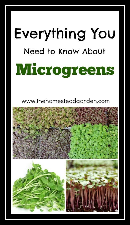 Everything You Need to Know About Microgreens - The Homestead ...