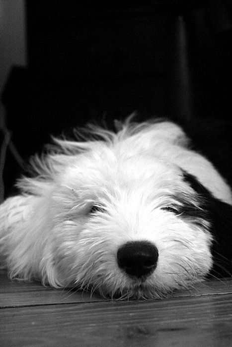 Old english sheepdog black and white dog photography