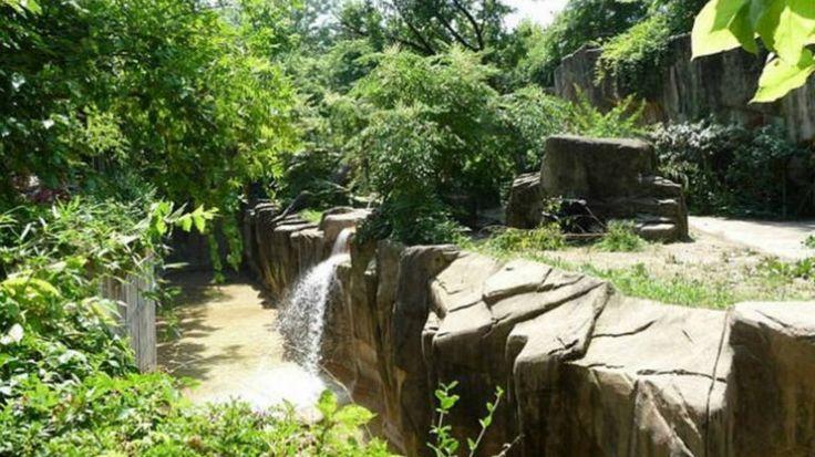 Los guardias del zoológico de Cincinnati, Ohio, dispararon y mataron el sábado a un goriladespués de que atrapara a un niño de tres años que cayó en el foso que rodea su recinto,  el