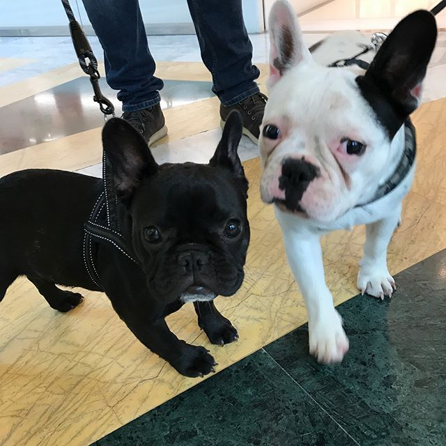 Nice to meet you Margot!!  Romeo, the French Bulldog #Taddeo #TaddeoMonello #Taddeothefrenchie#frenchieRomeoandfriends#frenchbulldog#frenchielove#ilovemyfrenchie#bouledoguefrancais#bouledoguefrancese#bouledoguefrançais#bulldogfrancese#frenchbulldogsofinst