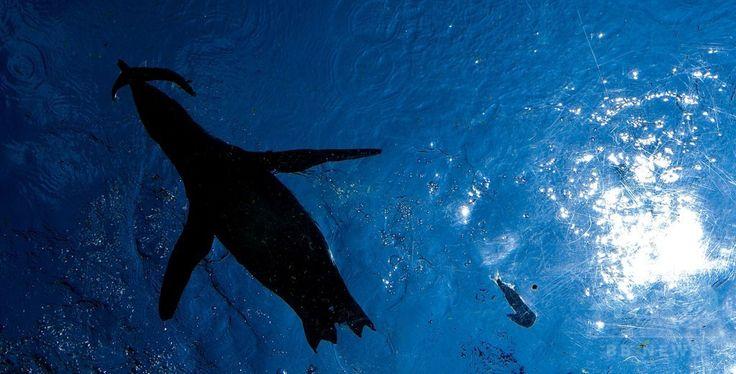 ドイツ中部ハノーバー(Hanover)の動物園で、餌の魚を食べるペンギン(2014年8月8日撮影)。(c)AFP/DPA/PETER STEFFEN ▼9Aug2014AFP ペンギンたちのランチタイム、ドイツ http://www.afpbb.com/articles/-/3022730 #Hanover #Penguin #Spheniscidae #Manchot #Pinguine