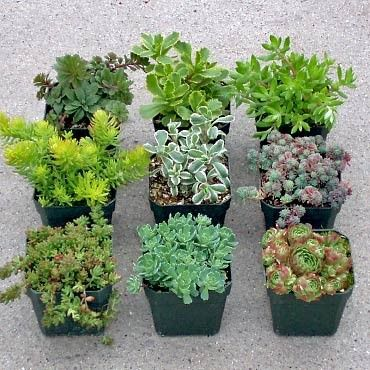 """Sedum Collection (9): 9 of the best Sedum plants. Each plant is planted in it's own individual 2"""" x 2"""" container. A nice selection from all of the different types. Zone 5."""