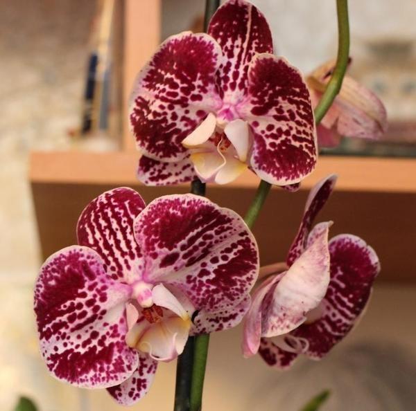 Орхидея- цветок страсти!!!