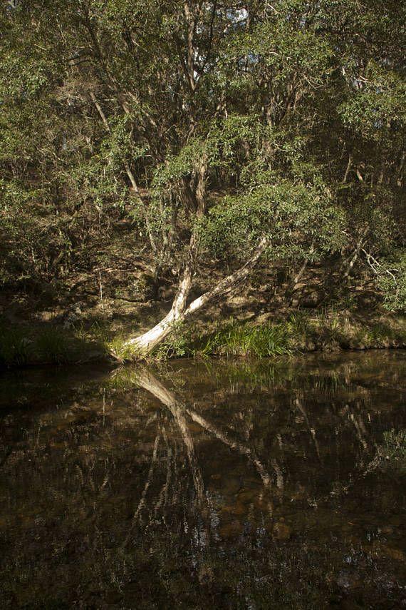 Melaleuca On Water: Australian Bush Photograph Tree