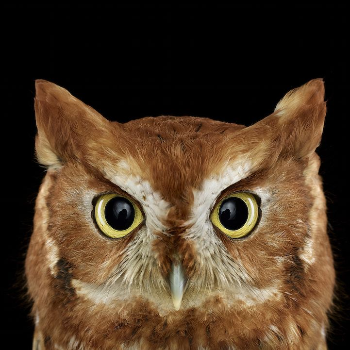 In this stunning series by Brad Wilson, the photographer captures up-close portraits of different owl species. Each bird is set against a stark black background, and the brilliant vantage point allows us to marvel at their unique qualities. Tiny feathers, short beaks, and glassy eyes stare straight into the camera with an intense gaze.