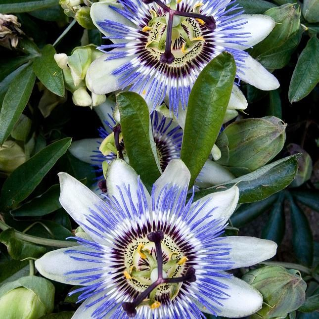 Passiflore bleue (Passiflora caerula)