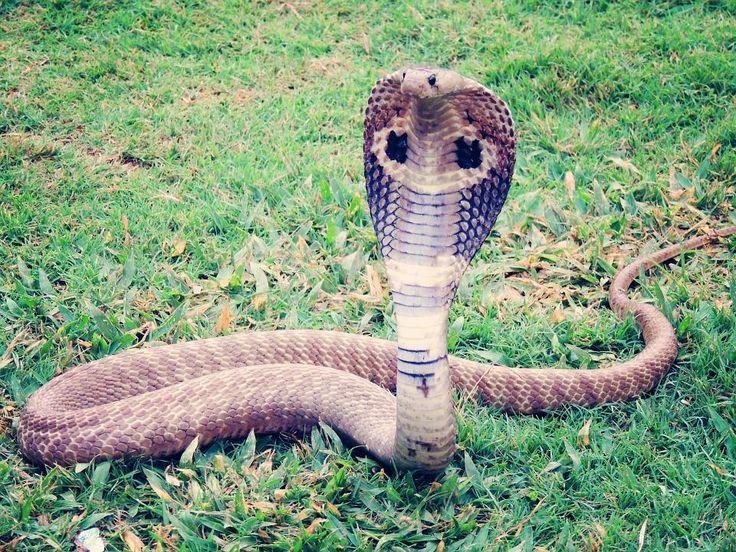 Las 5 serpientes mas venenosas del mundo | La Reserva | Las serpientes NO atacan a seres humanos, a no ser que sean provocadas o perturbadas. Para matar a sus presas antes de ingerirlas,  algunas serpientes utilizan veneno, que en muchos casos son altamente tóxicos. Estas son las 5 serpientes más venenosas del planeta.