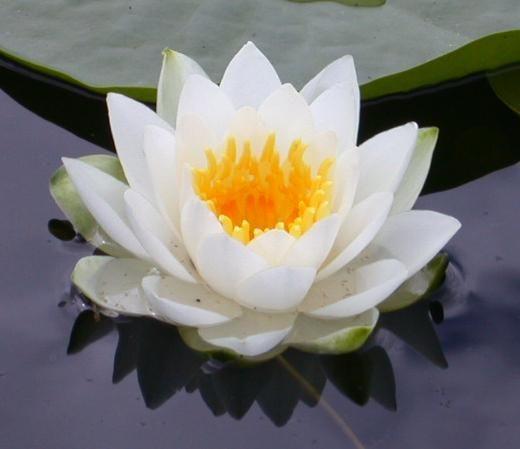 La Flor de Loto es uno de los más antiguos y profundos símbolos de nuestro planeta a través de multitud de civilizaciones a lo largo de la historia de la Humanidad. Símbolo del Desarrollo Espiritual, de lo Sagrado y de lo Puro. Simboliza la pureza, belleza, majestuosidad, gracia, fertilidad, abundancia, riqueza, sabiduría y serenidad.