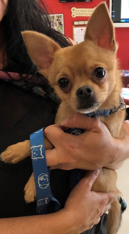This Lonely Pup Needs A Home Chihuahua Short Coat In Sanford