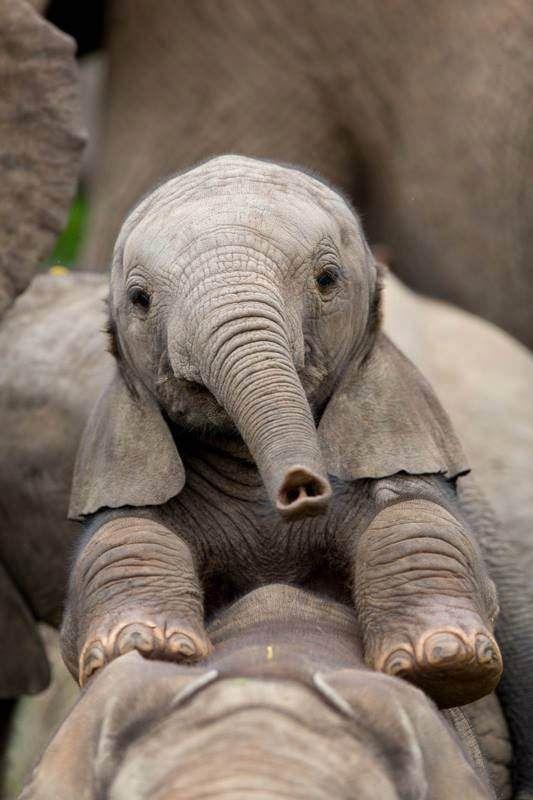 Elephant calf. The bottom of her trunk looks like a heart. #aww