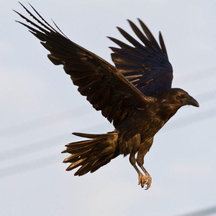 Common Ravens (Corvus Corax) Photo Gallery by Paul Lantz at pbase.