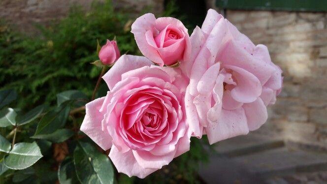Монастырские розы. Псково-Печерский монастырь.