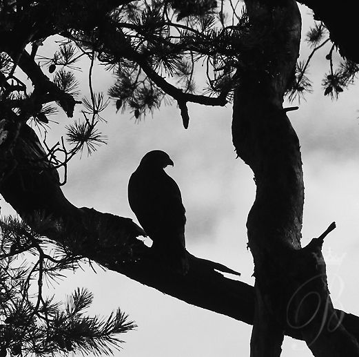 Photography By B.Blackwell: Bird of Prey Somerset or Japan?