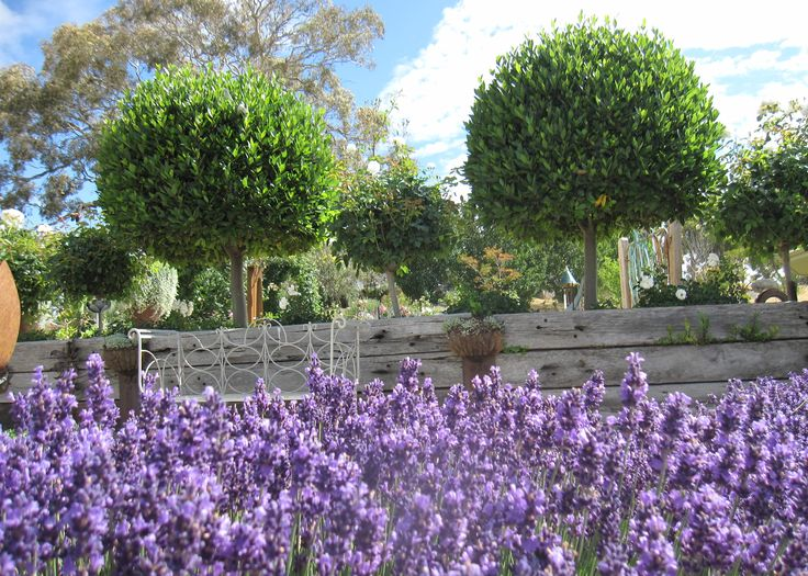 Hidcote lavender  at Mica Grange Garden