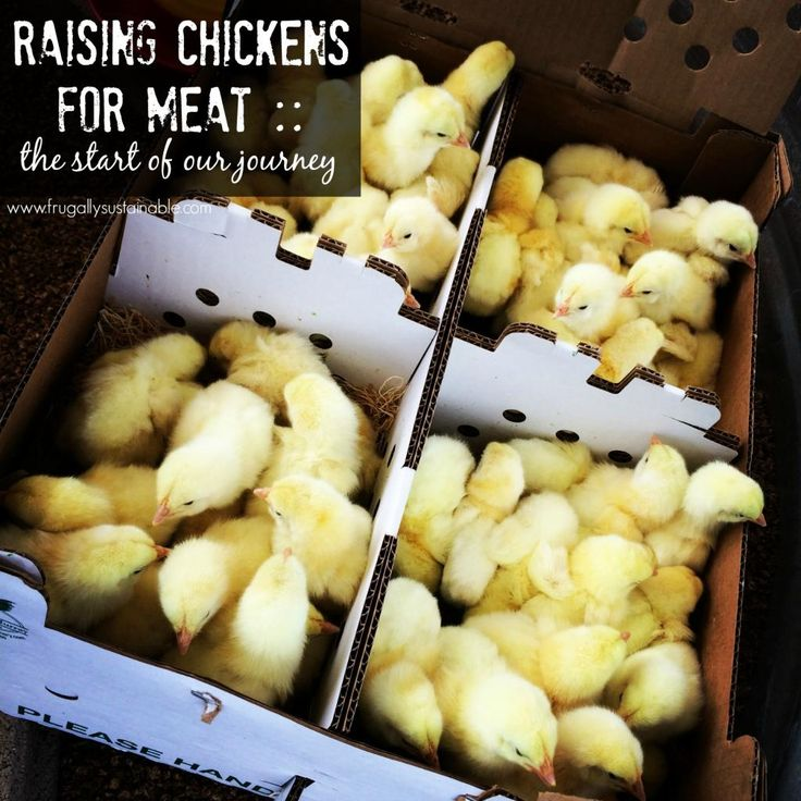 Raising Chickens for Meat