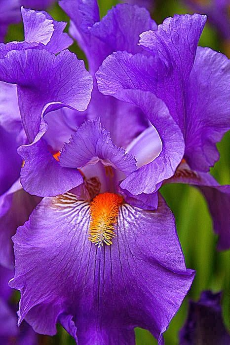 ... seen this pic .. don't know the species of Iris... but feminine and nice purple blue...
