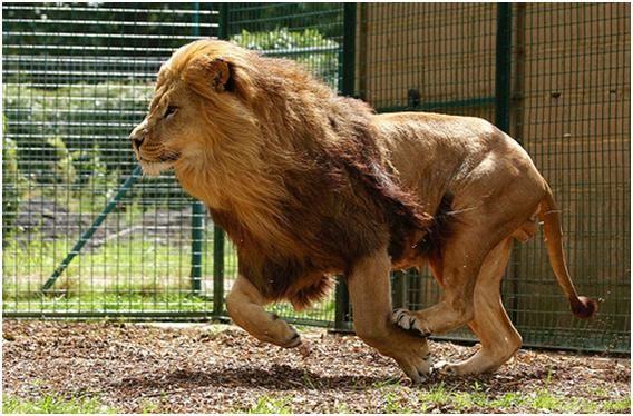 Aslan: Ormanlar kralı Aslan, bu sıralamada ancak kendisine dördüncü sırada yer bulabiliyor. Ortalama 80 kilometre hızla koşabilen bu dev kedi, avlarının korkulu rüyası. Asya ve Afrikaormanlarında haklı bir ünü olan Aslan ne yazık ki avcıların tehtidi altında