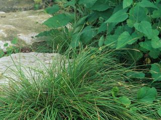Carex Planostachys Cedar Sedge Though Lawn Grass Short It Is A Clumping Sedge Not Forming A