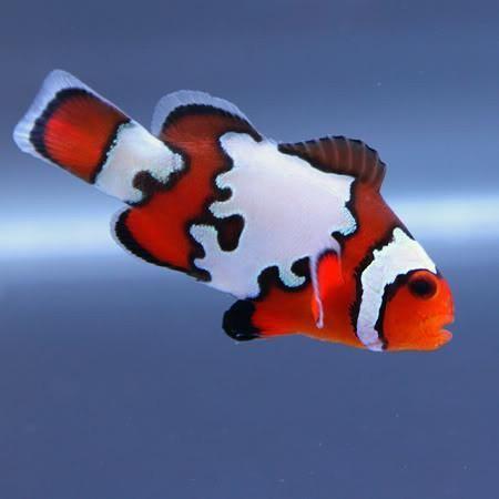 Black Ice Ocellaris Clownfish T R Lrg Clownfish Www Yourfishstore Com Clown Fish Saltwater Fish Tanks Fish