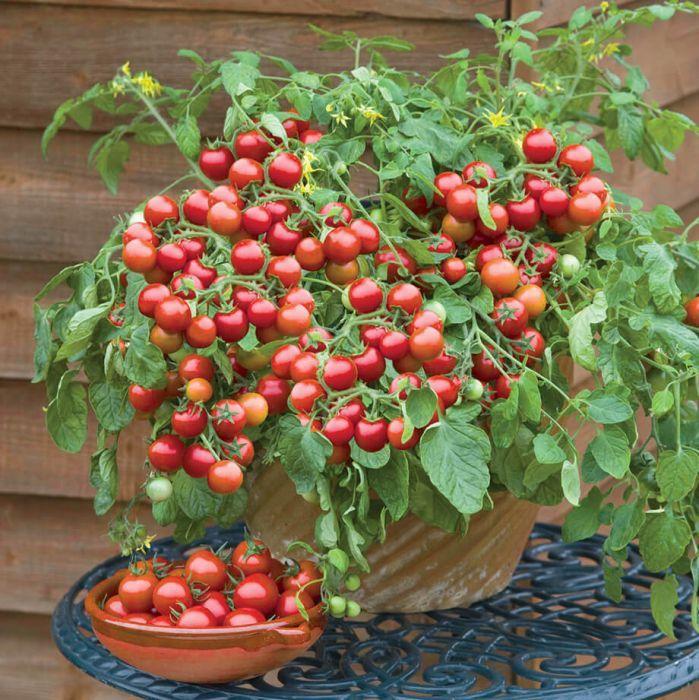 Cherry Falls Tomato In 2020 Cherry Tomato Plant Bonsai Fruit Tree Tomato Seedlings