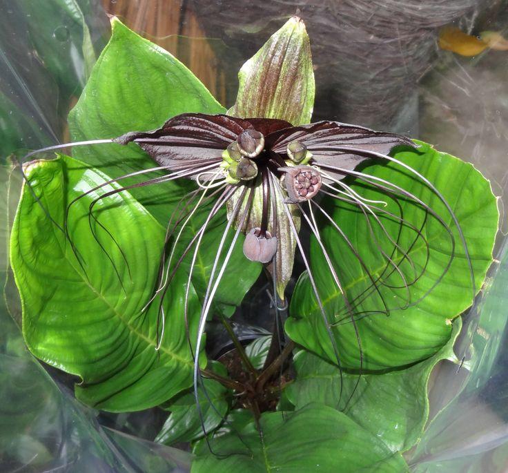 Dit is een tacca. Ook wel eens de zwarte orchidee genoemd. Het is echter geen orchidee.