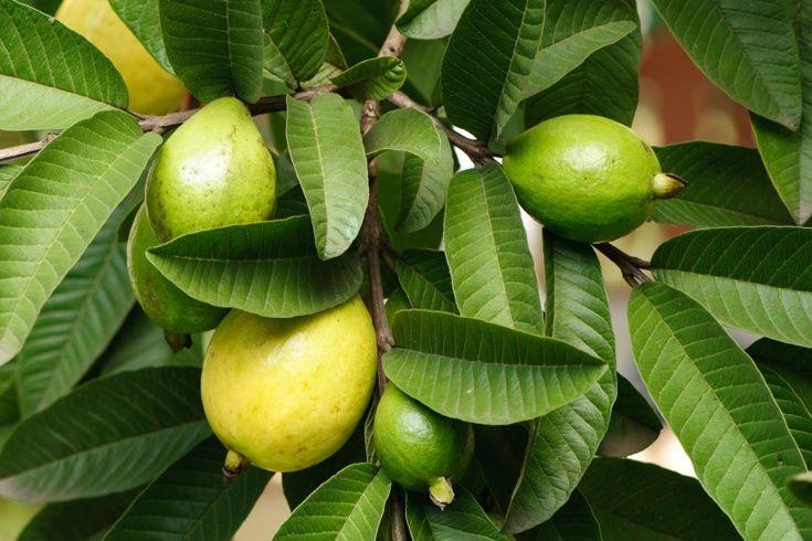 Guave-Blätter für Haar: Ihr unwahrscheinlicher Retter!