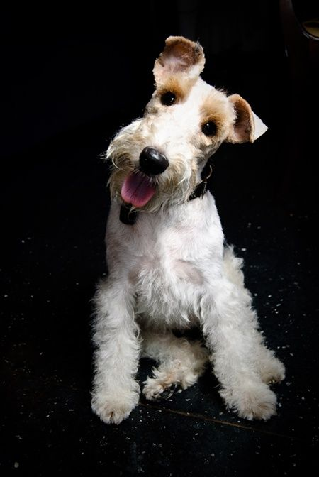 51. Fox Terrier de pelo duro | Su naturaleza vigilante los hace excelentes…