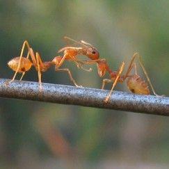 Trend Diese nat rlichen Hausmittel helfen gegen Ameisen