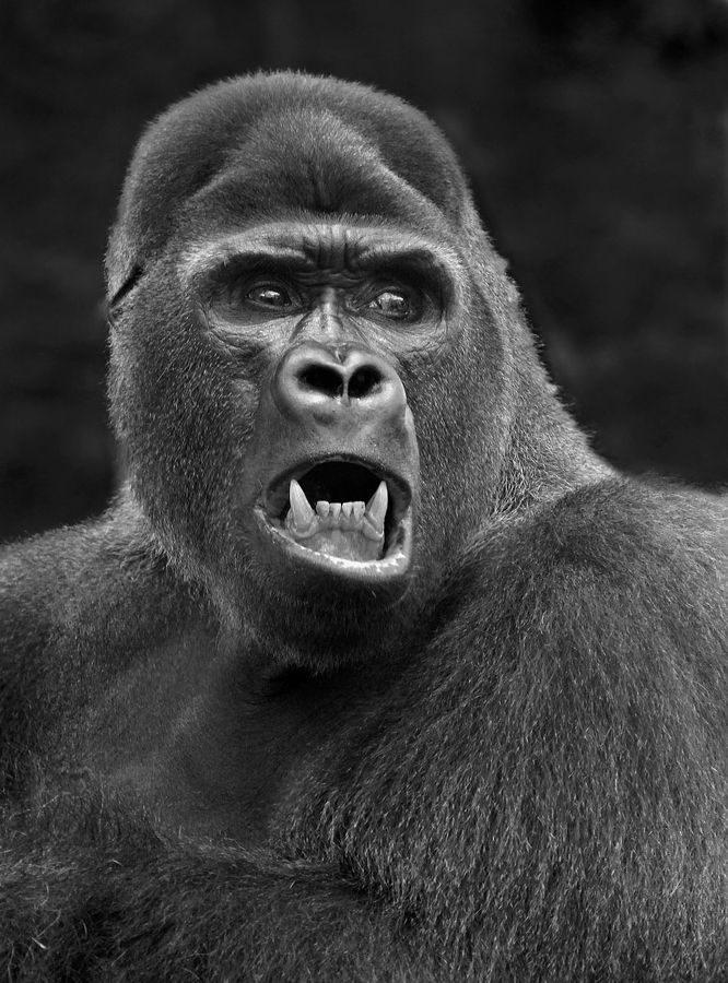 #animal #mad #gorilla by Carles Just