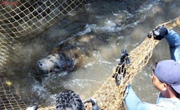 Após recuperação, peixe-boi é devolvido à natureza em Alagoas
