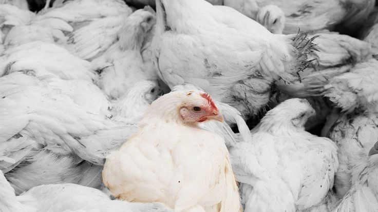 Click for details and please SIGN and share petition to tell Popeyes Chicken to end the cruelty now!