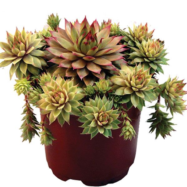 If you don't have much of a green thumb, indoor succulents may be your best friend. They are available in a wide range of unusual forms and colours and are virtually care-free.
