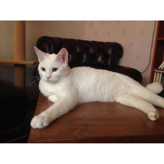 , 장남 포스 ㅋ, , #고양이 #앙고라 #터키쉬 #냥스타그램 #가족 #angora #turkish #cat #catstagram #family #アンゴラ #ターキーし #家族 #ネコ #猫james.wins2016/03/05 02:45:34