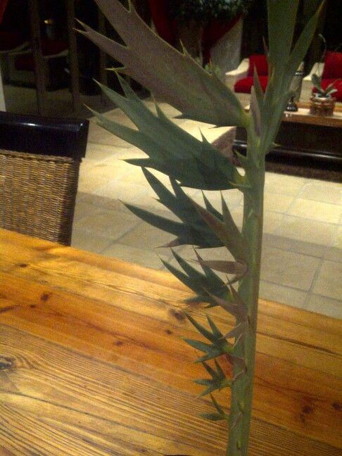 """Encephalartos nubimontanus """" ROBASTA """""""