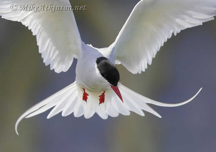The 25 Best Arctic Tern Ideas On Pinterest Pretty Birds