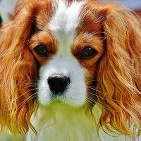 #dogalize Razze Cani: il cane Cavalier King, carattere e prezzo #dogs #cats #pets