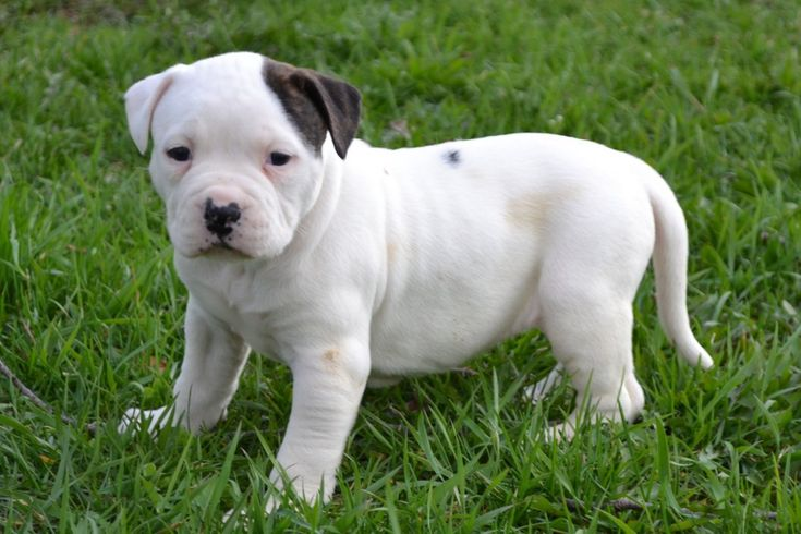 American Bulldog Puppies Sale .