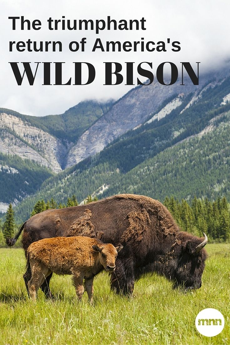 Hunted to extinction in the early 1900s, there are now 3,000 European bison in the wild.