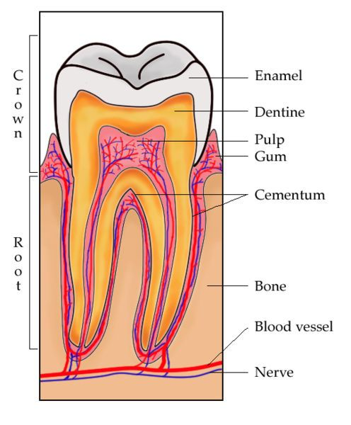 """Tooth cross section. Holistic dentistry/ Remineralization will only work if the cavity has not penetrated through to the dentine layer. Teeth are lacking the cells for regeneration that bones have, but """"remineralization"""" can effectively seal over a small cavity, though it is dangerous because the tooth decay may continue unseen."""