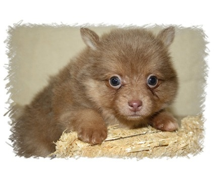 Rare Pomeranian Colors | Pomeranian Puppy Rare color Chocolate Lavender is a Female Pomeranian ...