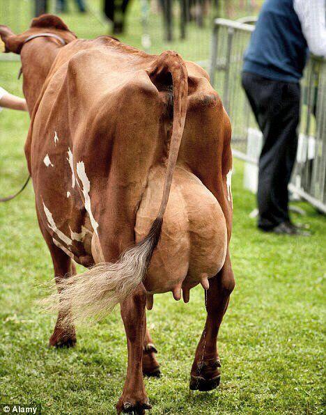Ubre Vaca
