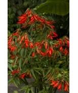 Bonfire Begonia (Begonia boliviensis 'Bonfire' P.P.# 15108) - Monrovia - Bonfire Begonia (Begonia boliviensis 'Bonfire' P.P.# 15108)