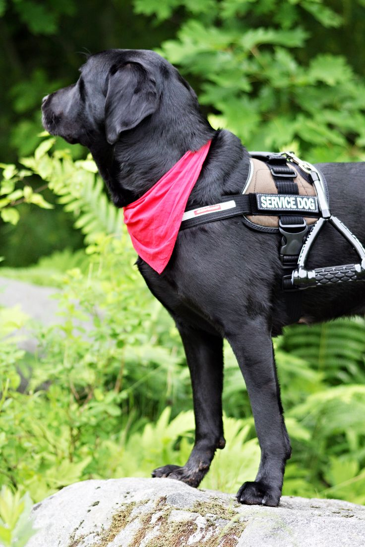 """While many people would still define a service dog as the traditional Guide Dog or """"seeing eye dog"""" that is only a one of many types of service dog. Many people's disabilities are """"invisible"""" to the casual observer and don't require large dog breeds to provide the needed benefit to the individual. Pawsitive Service Dog Solutions provides Autism Service Dogs"""