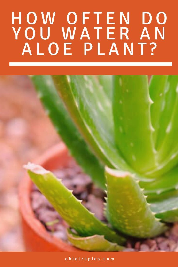 How Often Do You Water An Aloe Plant The 1 Secret You Need To Know Aloe Plant Aloe Vera Plant Plant Care Houseplant