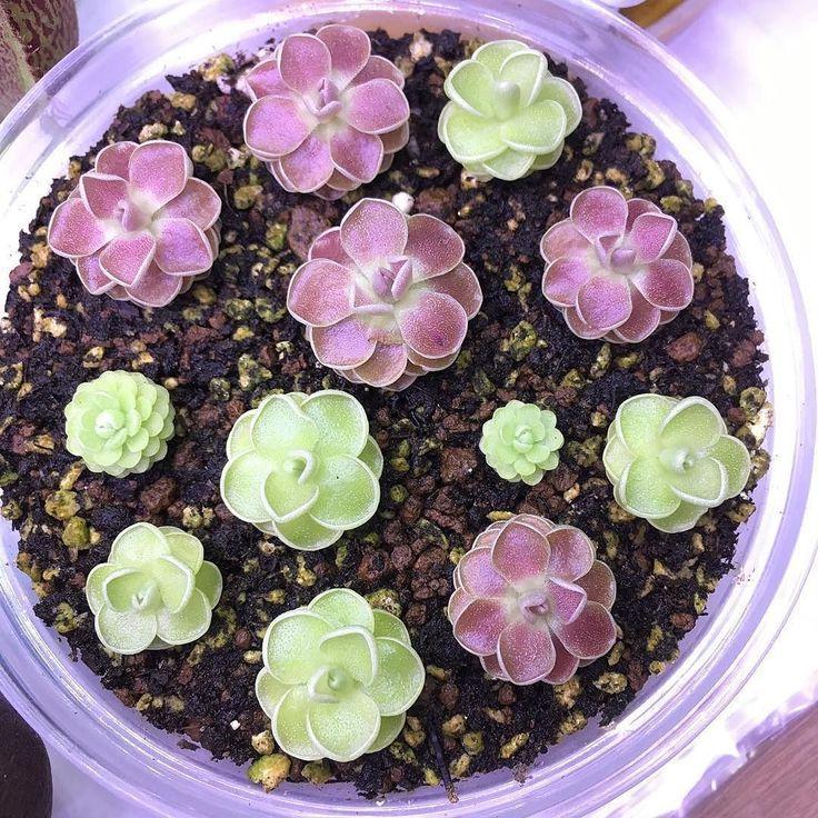 Ну до чего умилительное зрелище! Жирянки любят компанию. #pinguicula ( # @loqshiner )  #ulsk #ульяновск #ulyanovsk #насекомоядные #exoticflora #жирянка #pinguicula #carnivorousplants