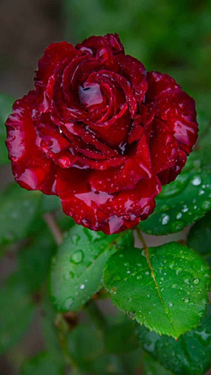 171 best ROSES FOR MY MOMMA...RIP MOM images on Pinterest | Rip mom ...