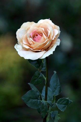 Image result for single blush rose