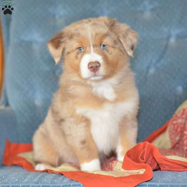 Pumpkin Australian Shepherd Puppy For Sale In Ohio Australian
